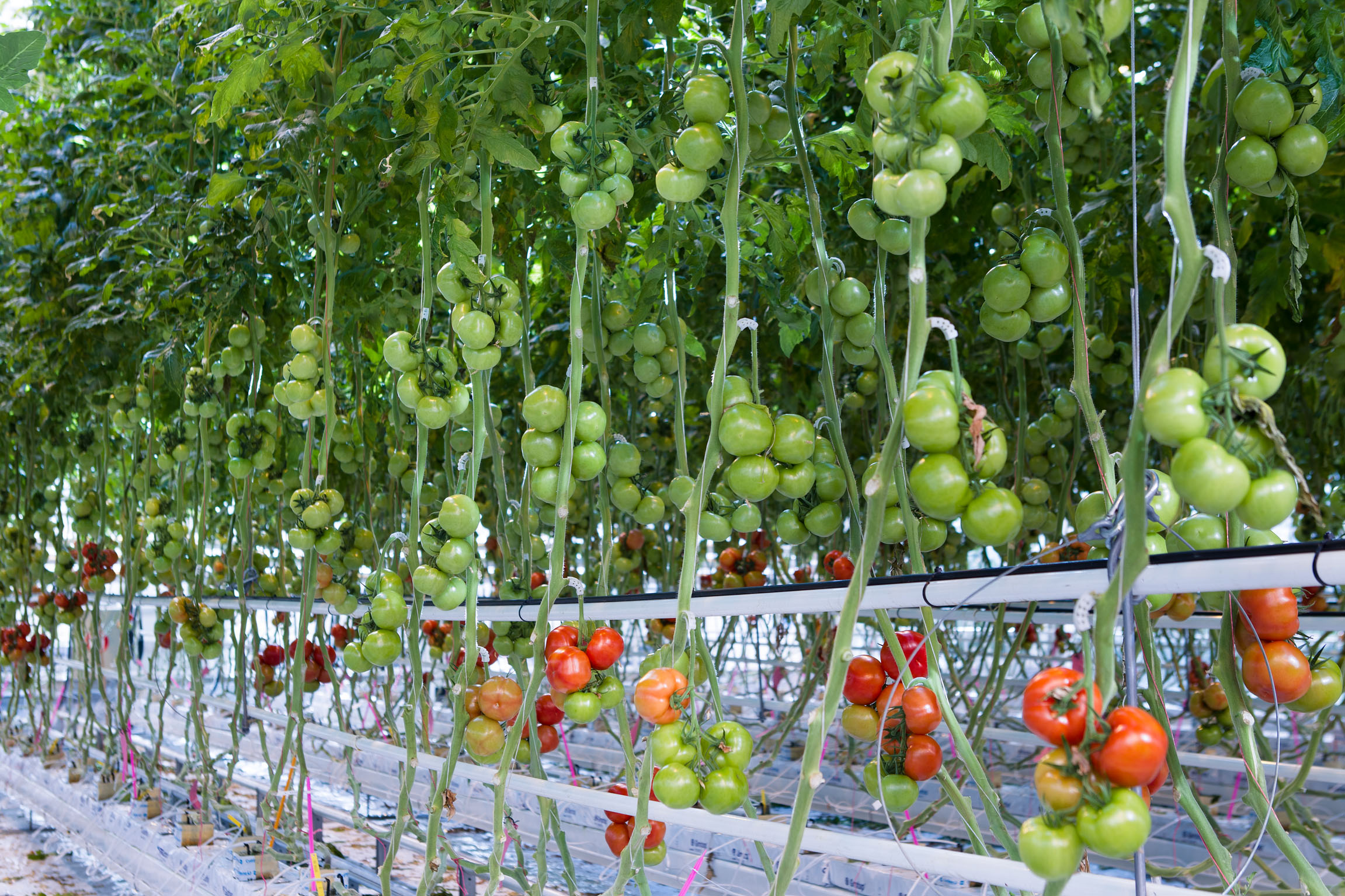 Tomatenkas
