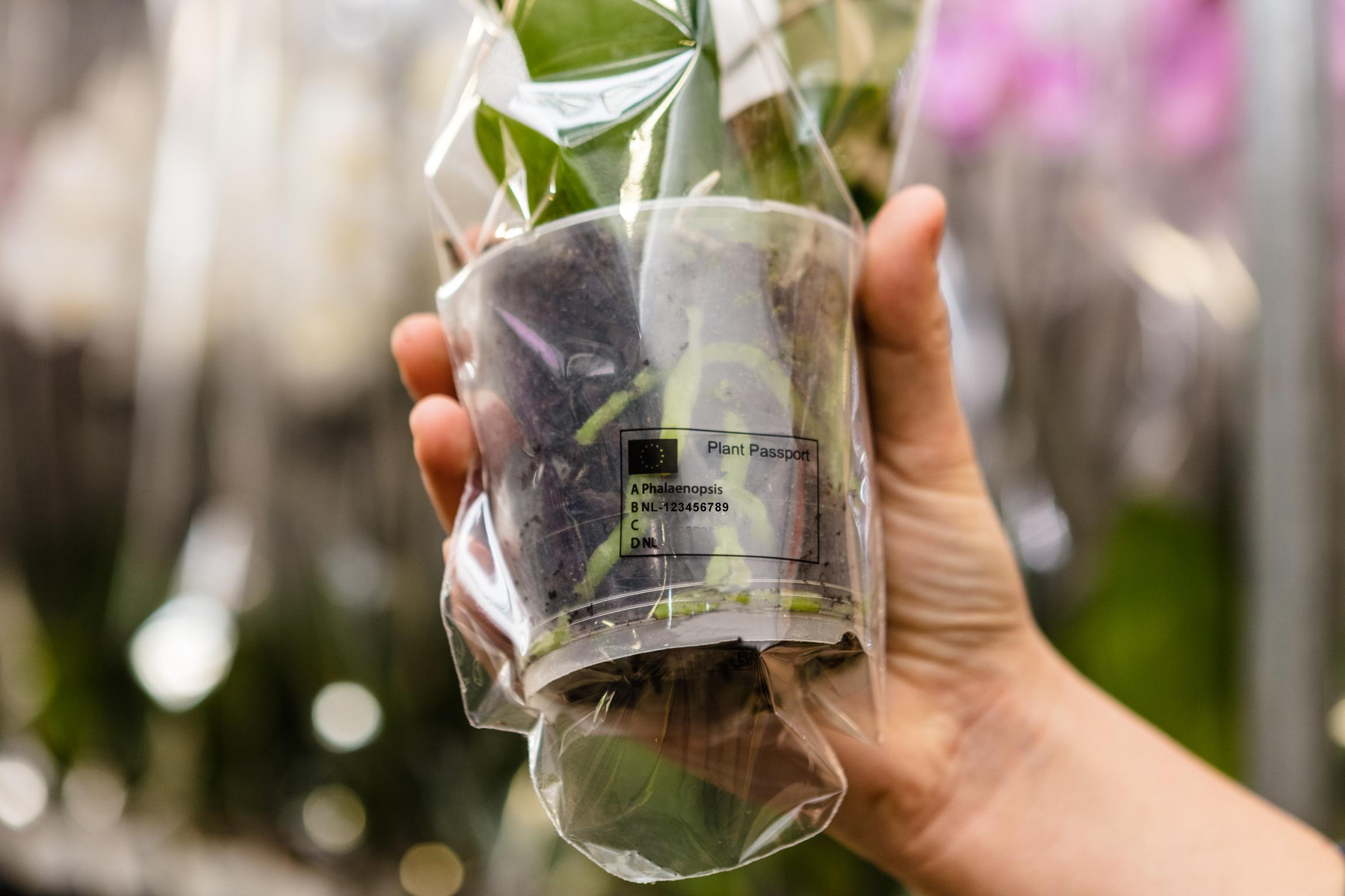 Phalaenopsis met plantenpaspoort