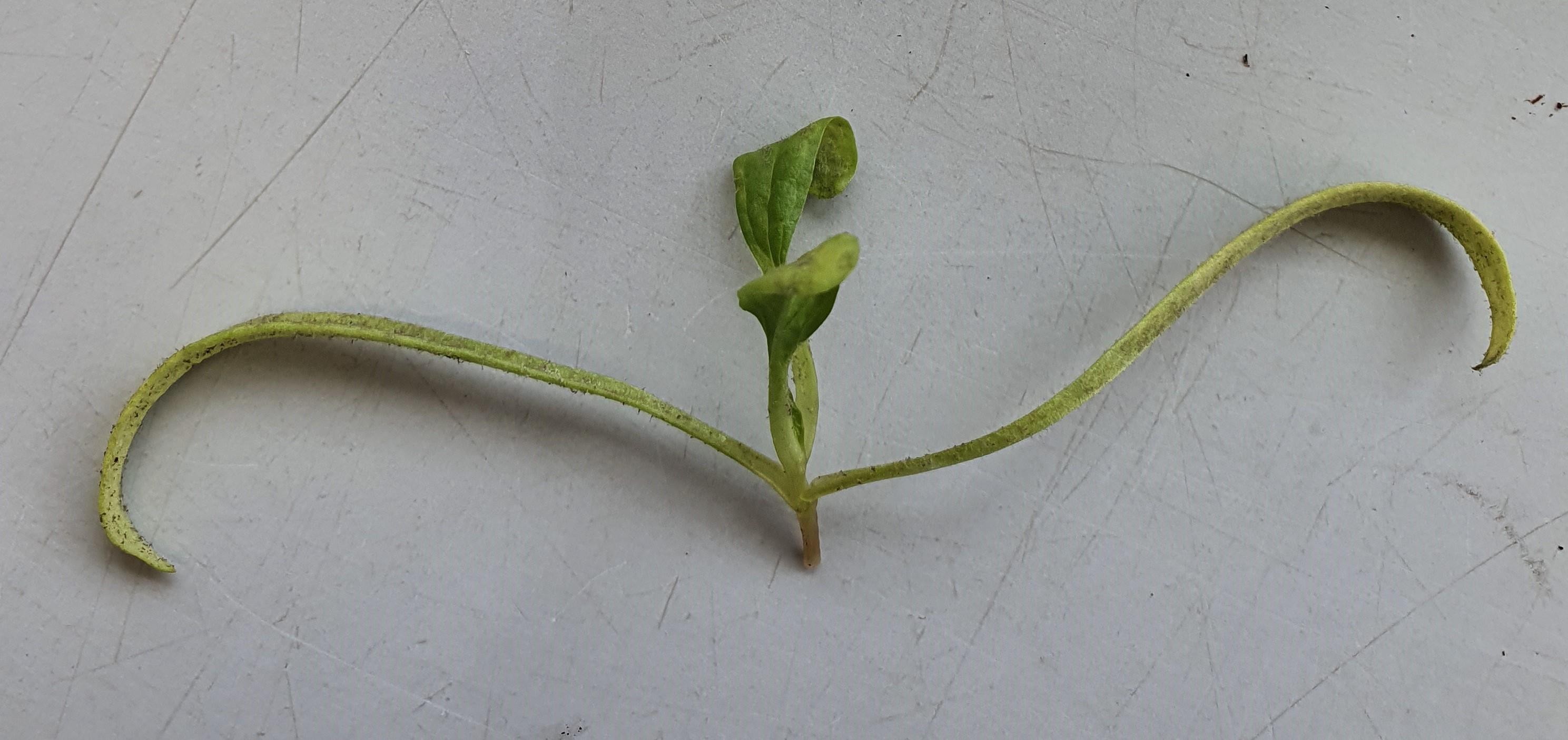 Downey mildew in Spinach